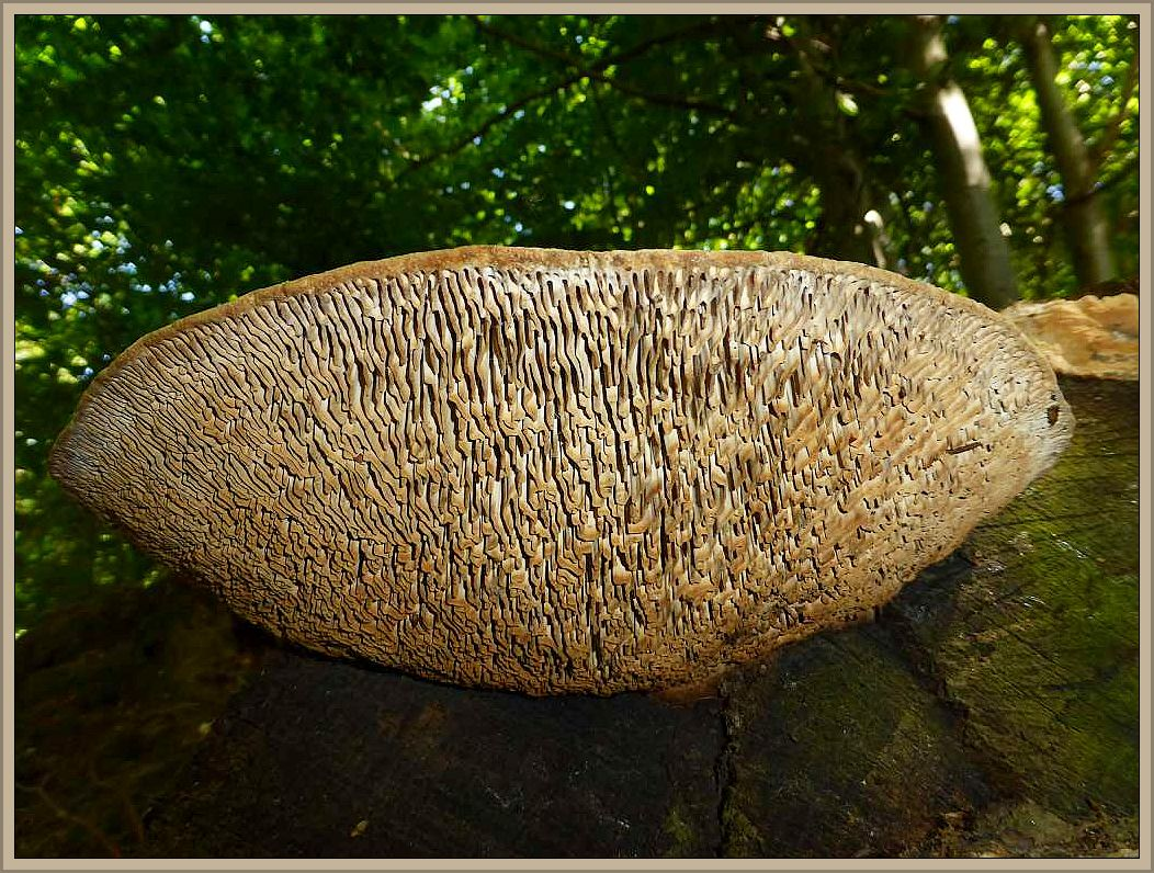 Mit seiner dicken labyrintisch - lamellenartigen Fruchtschicht auf der Unterseite und immer an Eichenholz ist der Eichen - Wirling (Daedalea quercina) praktisch kaum zu verwechseln.
