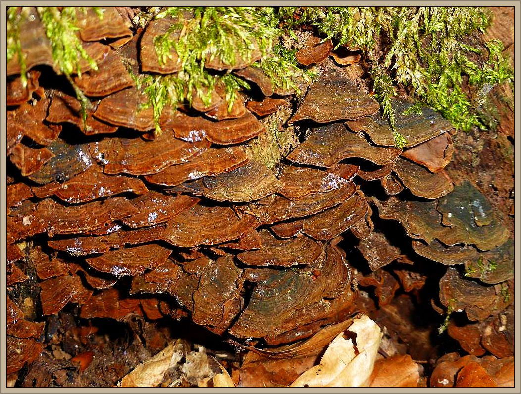 Auch der häufige Rotbraune Borstenscheibling (Hymenochaete rubiginosa) ist eine Charakterart alter Eichenstubben.
