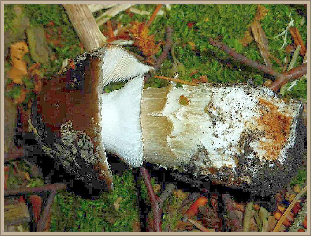 Neben dem alten Hexen - Röhrling war dieser essbare Graue Wulstling (Amanita excelsa) der einzige Mykorrhiza - Pilz der heutigen Pilzwanderung! Das soll für Mitte Juli schon etwas heißen! Man achte auf der grauschorfigen Hüllreste auf dem Hut, die geriefte Manschette und die einfach Stielknolle, die hier leider stark vermadet ist.