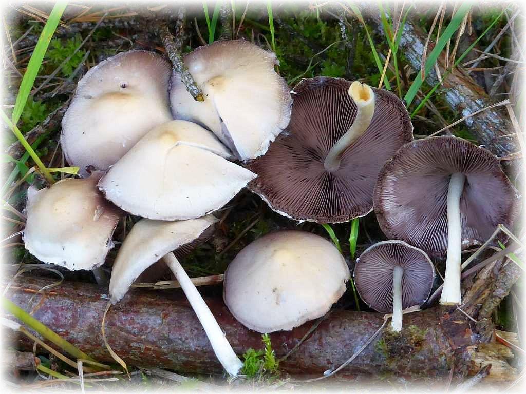 Schon wieder Lilablättrige Mürblinge (Psathyrella candolleana). Leider ist die Flaute an der Pilzfront in den letzten Tagen derart groß geworden, dass ich wirklich keine anderen, aktuellen Fotos von Frischpilzen anbieten kann. Da das Tagebuch aber möglichst die derzeitige Lage an der Pilzfront wiederspiegeln soll, habe ich die Art nochmals herin genommen. Ich habe die Pilze gestern in der Kiefernforstung bei Perniek gefunden und fotografiert. Wir sehen die Pilze hier in ihrer typischen, ausgewachsenen Erscheinungsform. Vorzüglicher Suppenpilz.