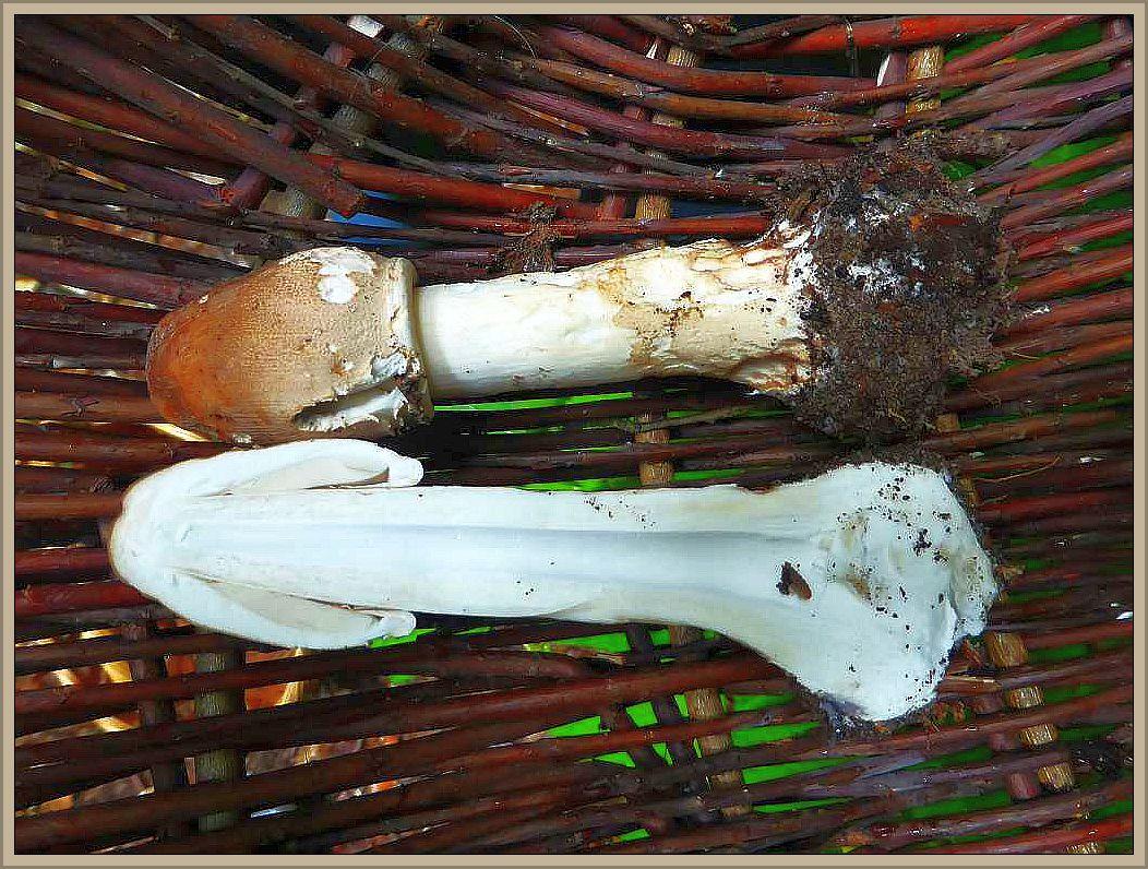 Dieser junge Paukenschlegel = Riesenschirmpilz (Macrolepiota procera) besitz einen sehr stabil - faserigen Stiel der innen hohl ist. Der recht dünne Stiel braucht Stabilität um später den großen, aufgeschirmten Hut zu tragen. Die Hüte gelten als Delikatesse.d braucht