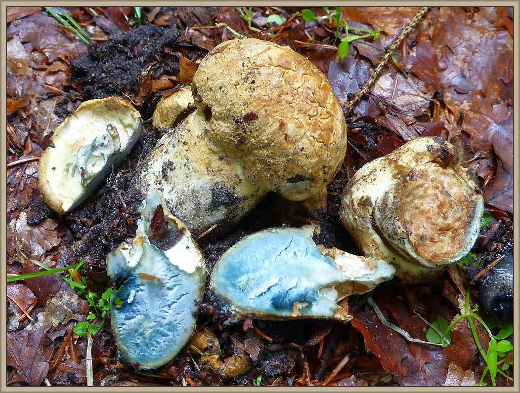 Ein überraschungsfund sind diese jungen Fruchtkörper des relativ seltenen Kornblumen - Röhrlings (Gyroporus cyanescens). Sein Fleisch verfäbt sich bei geringster Berührung und im Schnitt kornblumenblau und der Stiel ist von einer knorpeligen Rinde umgeben und im inneren meist zellig hohl. Essbar.