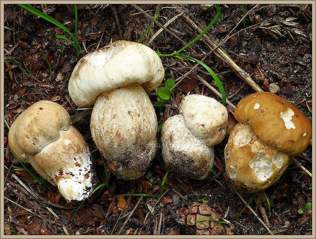 Hier sehen wir vier junge Steinpilze. In der Mitte zwei Echte oder Fichtensteinpilze (Boletus edulis) die flankiert werden von je einem Sommersteinpilz (Boletus reticulatus).