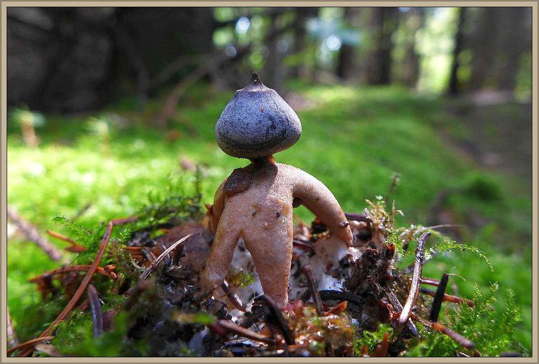 Mit diesem schönen Foto von Christian Ehmke möchte ich das August - Tagebuch schließen. Er fand diesen schönen Erdstern kürzlich im Fichtenwald. Es dürfte sich um den Kleinen Nesterdstern (Geastrum coronatum) handeln, eine kalkliebende Art.