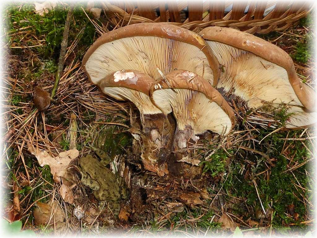 Beim herraus drehen dieses großen Samtfuß - Kremplings (Paxillus atrotomentosus) haben wir leider diese unter links gut getarnt sichtbare Erdkröte obdachlos gemacht. Aber sie wußte sich zu behelfen und grub sich schließlich in den lockeren und humosen Waldboden neben dem modrigen Fichtenstubben, an dem die Pilze wuchsen, ein. Samtfußkremplinge können theoretisch gegessen werden, sollen aber muffug schmecken und das Kochwasser verfärbt sich lilabläulich.