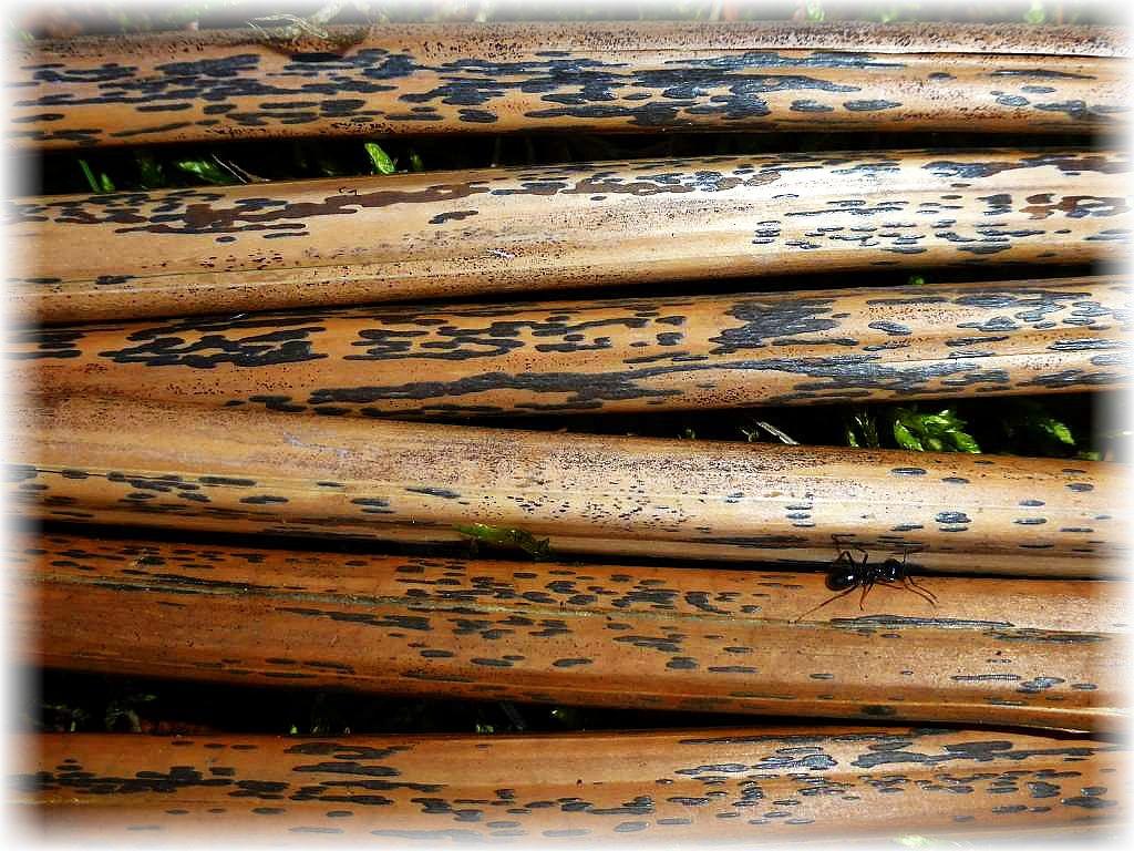 Lange hatte ich nicht mehr nach dem Adlerfarn - Fleckenpilz (Rhopographus filicinus) geschaut, auch weil es um Wismar herum kaum Adlerfran - Bestände gibt. Um so erfreuter war ich, dass ich den alten Bekannten gestern sofort an den abgestorbenen Stengeln des giftigen Adlerfarns im Forstrevier Friedrichsmoor fand. Er gehört zu den Schlauchpilzen.
