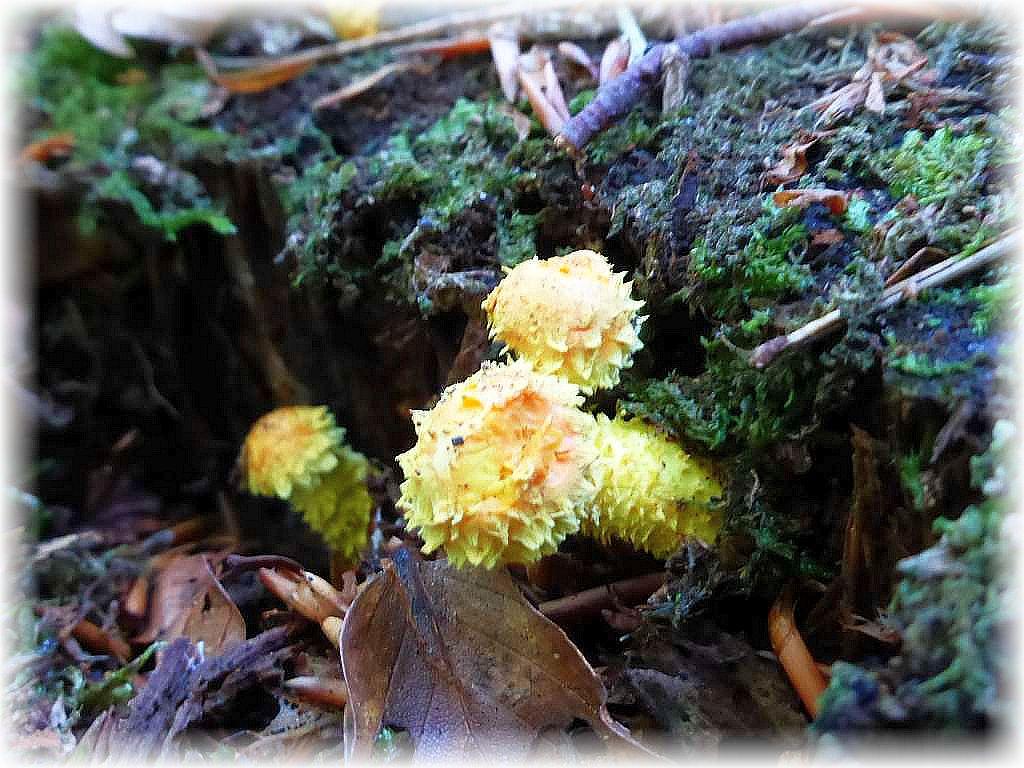 An einem alten Fichtenstubben zeigen sich junge Feuer - Schüpplinge (Pholiota fammans). Eine kleine, aber überaus hübsche Blätterpilzart, die allerdings ungenießbar ist.