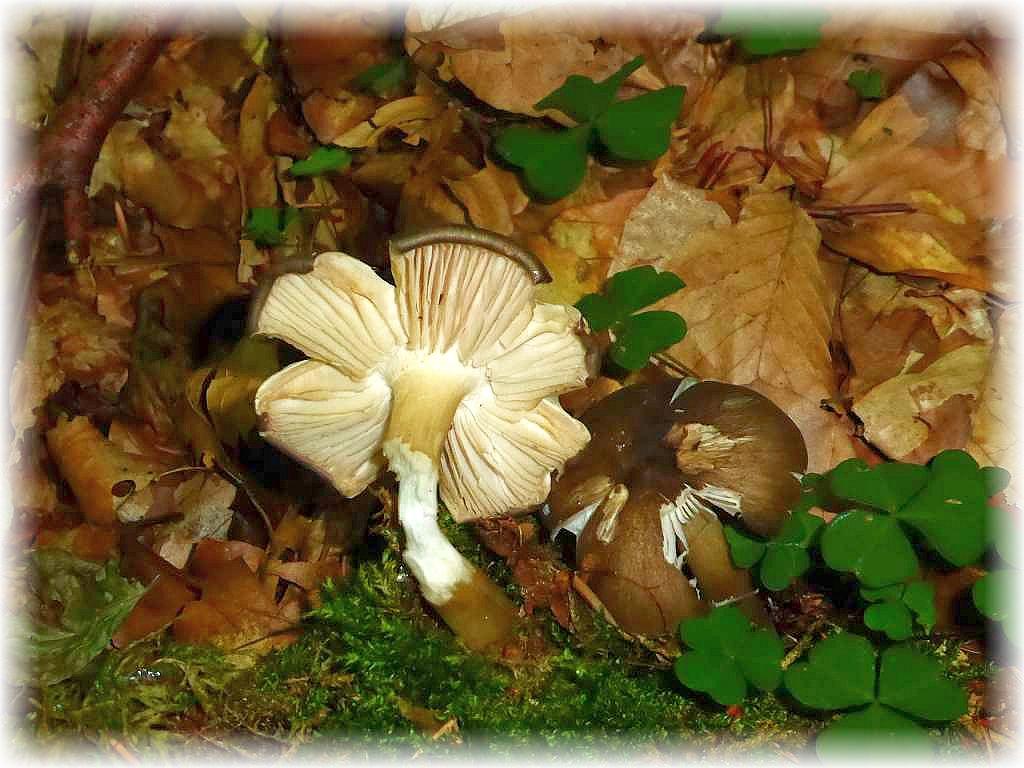 Ein Blätterpilz der fast auf keiner Pilzwanderung von Mai bis November feht ist der Breitblättrige Großrübling (Megacollybis platyphylla). Er ist minderwertig und nicht empfehlnswert und wird mitunter sogar als leicht giftig eingestuft.