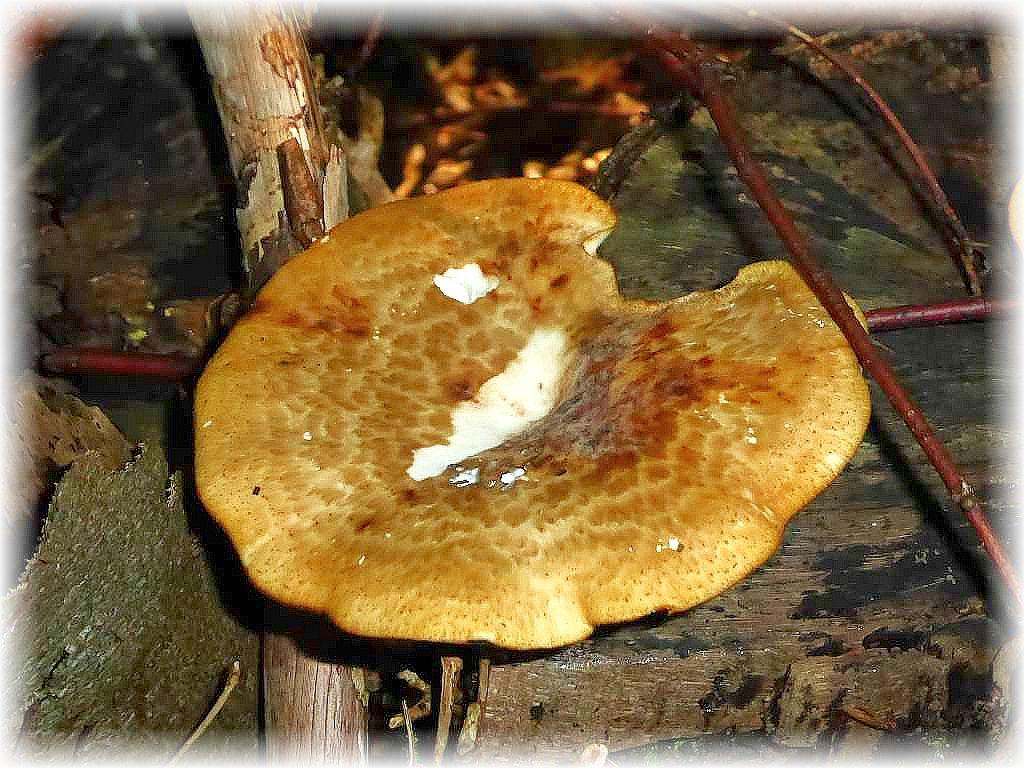 Der Sklerotienporling (Polyporus tuberaster) ist der kleine Bruder des Schuppigen Porlings und wird sehr frühzeitig zäh.