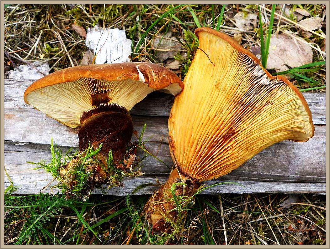 Auch diese fotogenen Samtfuß - Kremplinge (Paxillus atrotomentosus) wuchsen in diesem Wald an Fichtenstubben. Als Speisepilz nicht empfehlenswert.