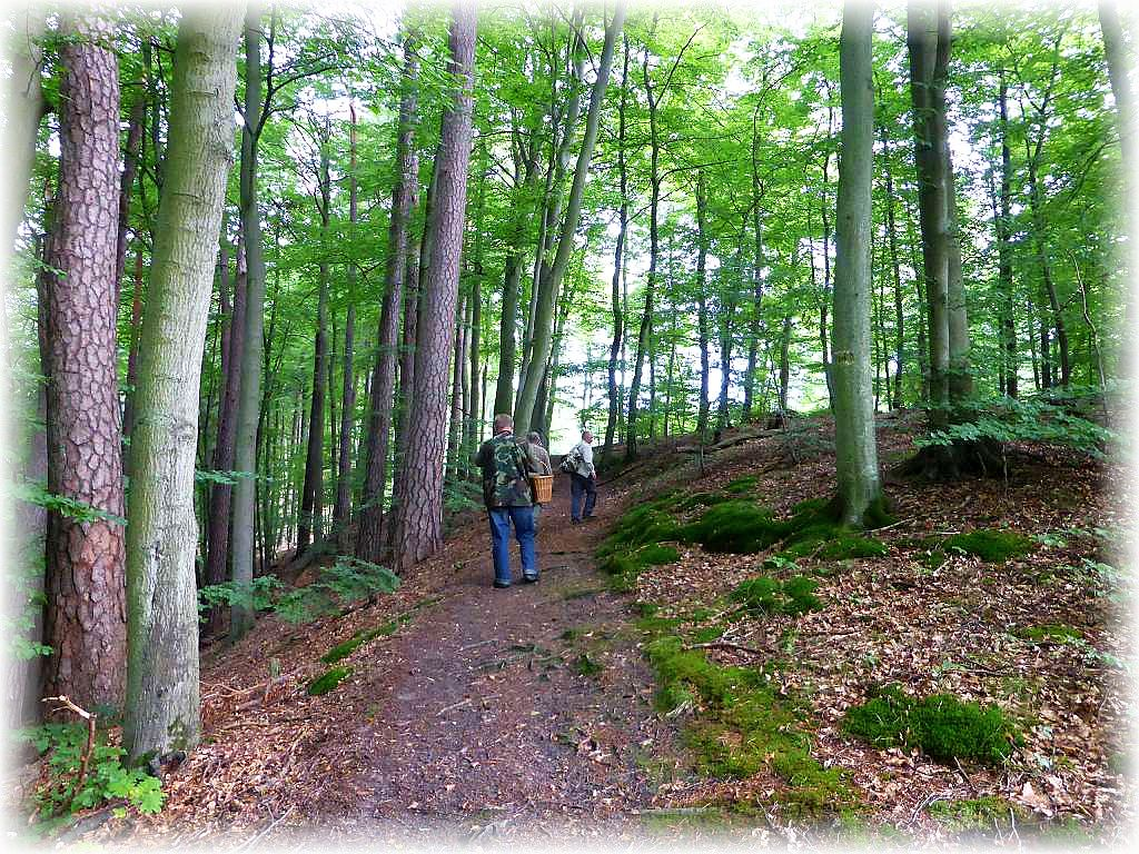 Weiter geht es den recht ansruchsvollen Wanderweg oberhalb des Radebachs entlang durch Buchen/Kiefern - Mischwald.