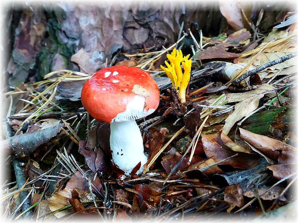Unterhalb des Wanderweges, an den steilen Hangterrassen dan diese beiden Vertreter. Ein Kiefern Spei- Täubling (Russula emetica) und ein Klebriger Hörnling (Calocera viscosa). Der Täubling ist natürlich kompltt ungenießbar, der gelbe Händling wird gerne von einigen Pilzfreunden eingesammelt, obwohl er Speisepilz wertlos ist.