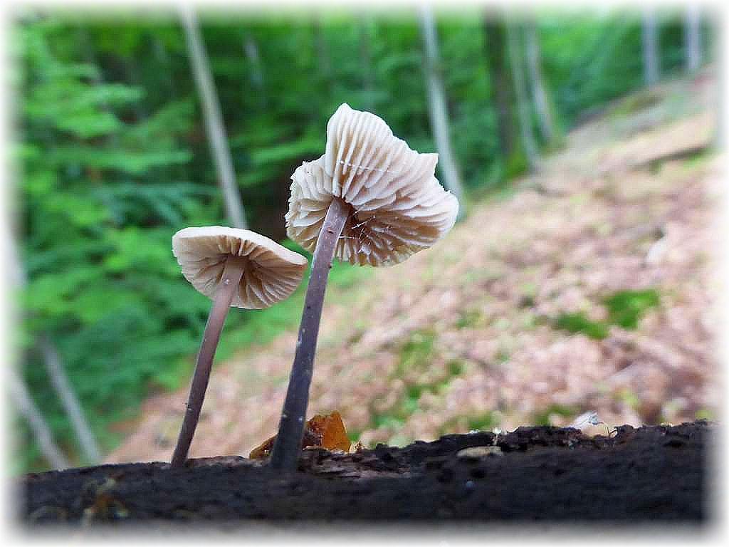 Zwar keine Raritäten, aber immerhin Frischpilze, die heute wirklich Mangelware waren. Langstieliger Knoblauch - Schwindling (Marasmius alliaceus).