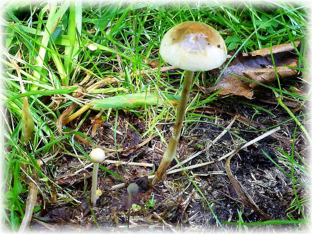 Hier sehe wir die Pilze, um die es ging und die zum Schluß der Exkursion noch für viel Wirbel sorgten. Halbkugeliger Träuschling (Stropharia semiglobata) und der kleine Graue im Vordergrund, der Blasse Düngerling (Panaeolus papilionaceus).