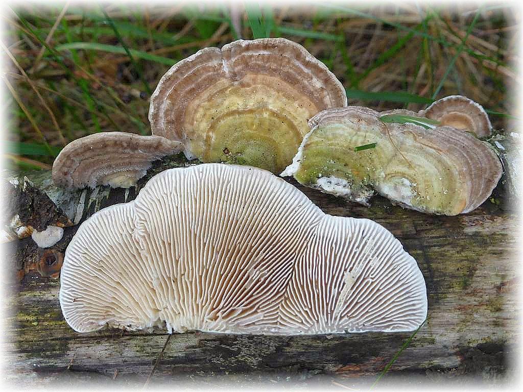 Der Birken - Blättling (Lenzites betulinus) bevorzugt Birkenholz als Substrat, ist aber auch häufig an Buchenstümpfen zu finden. Obwohl er auf der Unterseite lamellenartige Strukturen aufweist, gehört er dennoch zu den Porlingen. Ungenießbar.