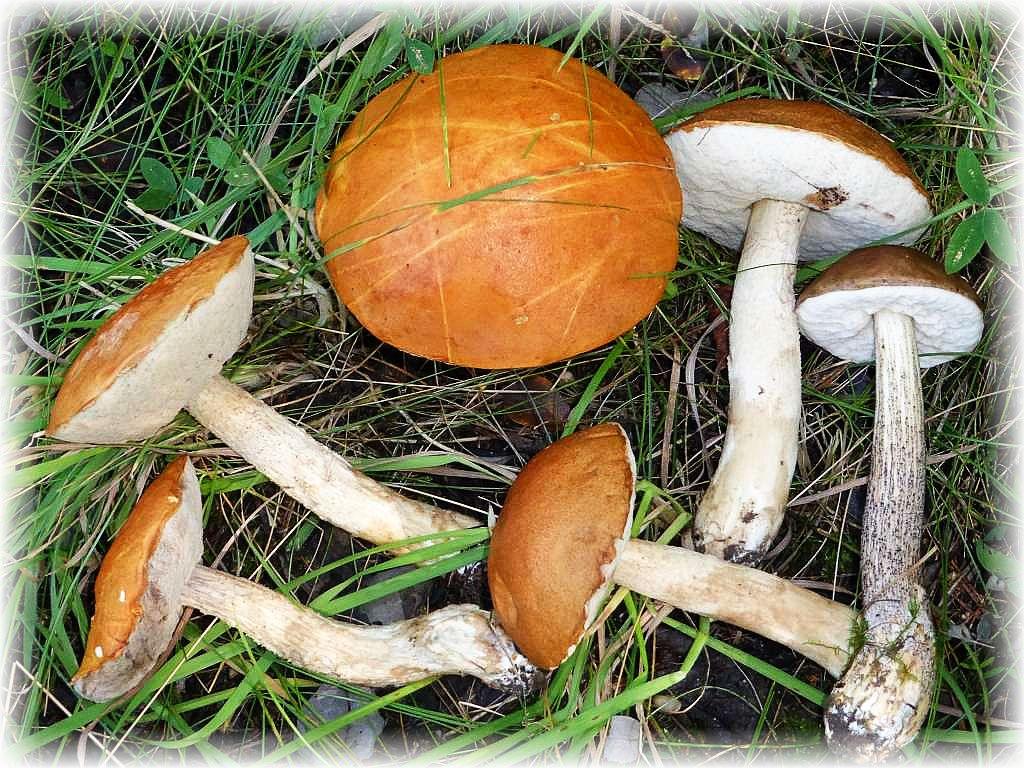 Diese Pilze haben morgen ihren großen Zeitungs - Auftritt. Espen - Rotkappen (Leccinum rufum) und ganz rechts ein Birkenpilz (Leccinum scabrum).