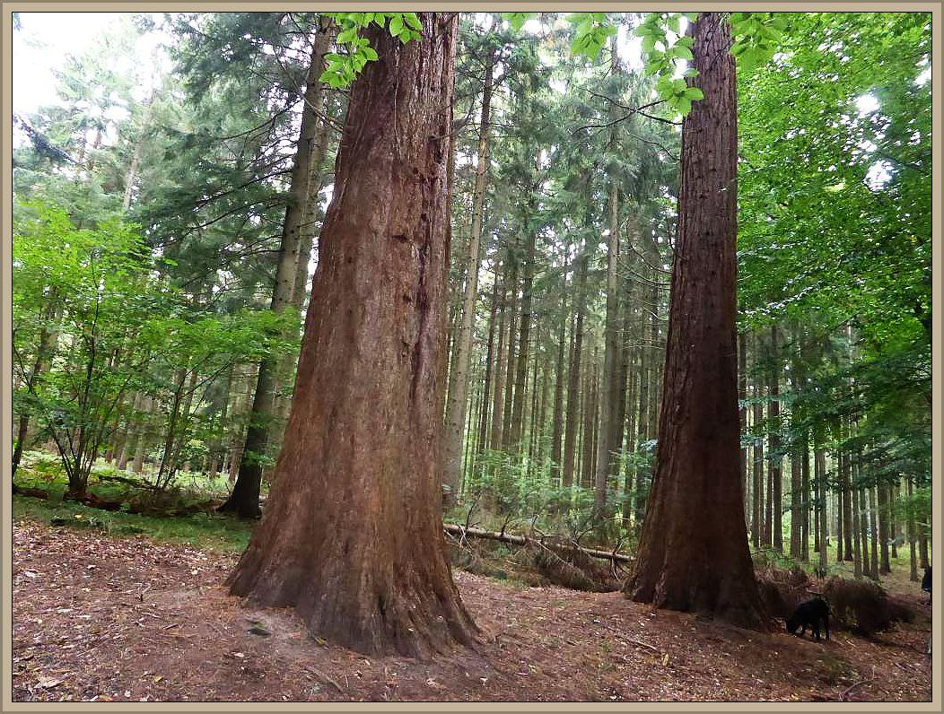 An Fuße der Mammut - Bäume.