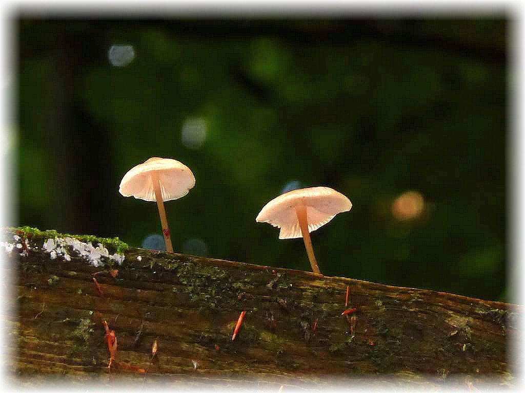 Das es wohl Pilze geben dürfte, zumal es hier mehr als ausgiebig geregnet hatte, signalisierten uns diese essbaren Rosablättrigen Helmlinge (Mycena galericulata) auf dem Dach der Köhlerhütte. Zu erreichen nur mit einer Leiter.