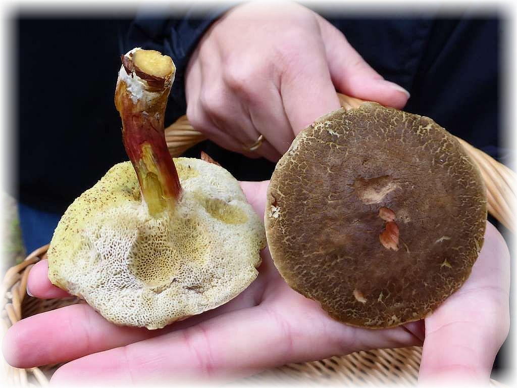 Beim Sammeln von Filzröhrlingen, insbesondere bei Rotfüßchen (Xerocomus chrysenteron) idt unbedingt darauf zu achten, dass sie nicht vom parasitischen Goldschimmelpilz befallen sind. Solche Fruchtkörper können gesundheitschädlich sein und müssen verworfen werden.