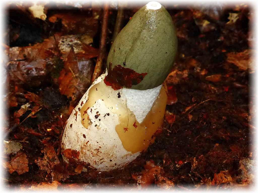 Eine Stinkmorchel (Phallus impudicus) schiebt sich aus einem sogenannten Hexenei.
