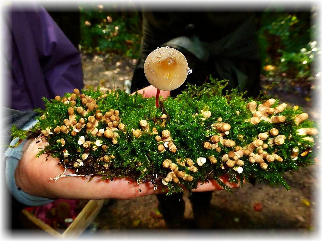Ein von der Natur gezaubertes Pilzgesteck auf morschem, bemoostem Holz. Viele junge Birnen - Stäublinge (Lycoperdon pyriforme) umgeben einen Gelbmilchenden Helmling (Mycena crocata).