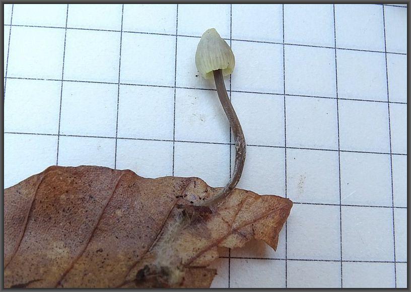 Dieser Helmling wuchs auf Buchenlaub. Laut Bestimmung von Christopher Engelhardt handelt es sich um den Gilbenden Helmling (Mycena flavescens).