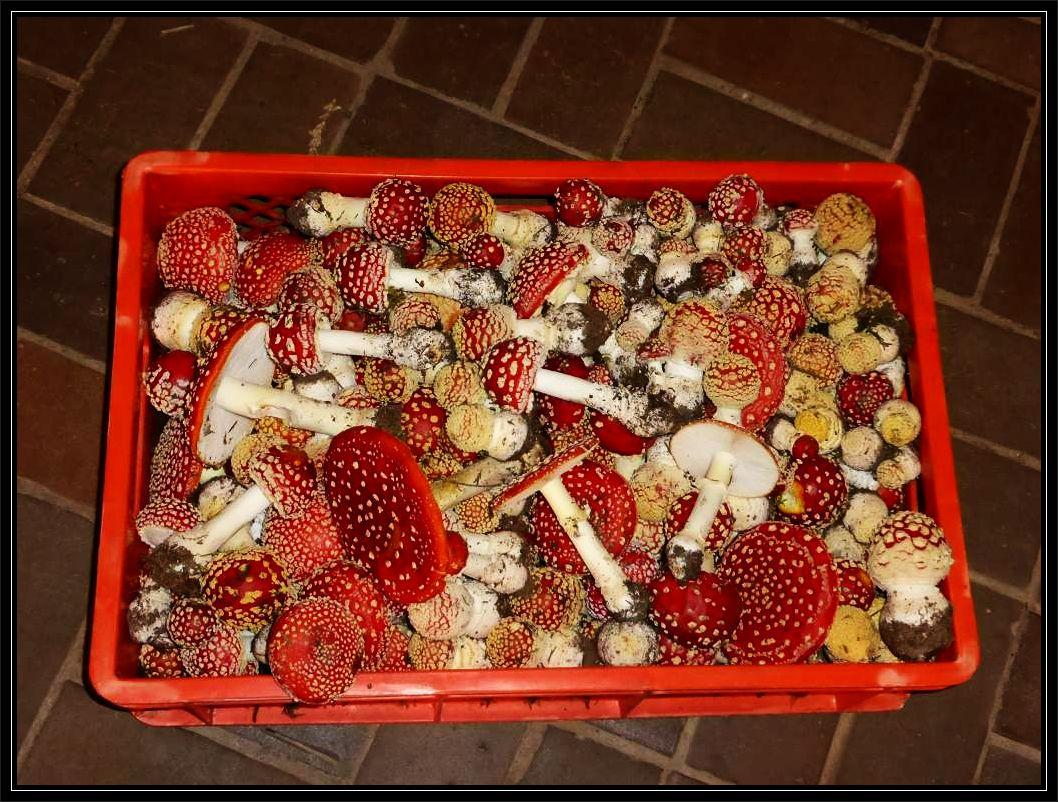 Zu den zahreich in Kisten und Körben angelieferten Pilzen gehören auch diese farbenfrohen Glückspilze, die jedes Kind bereits kennt..