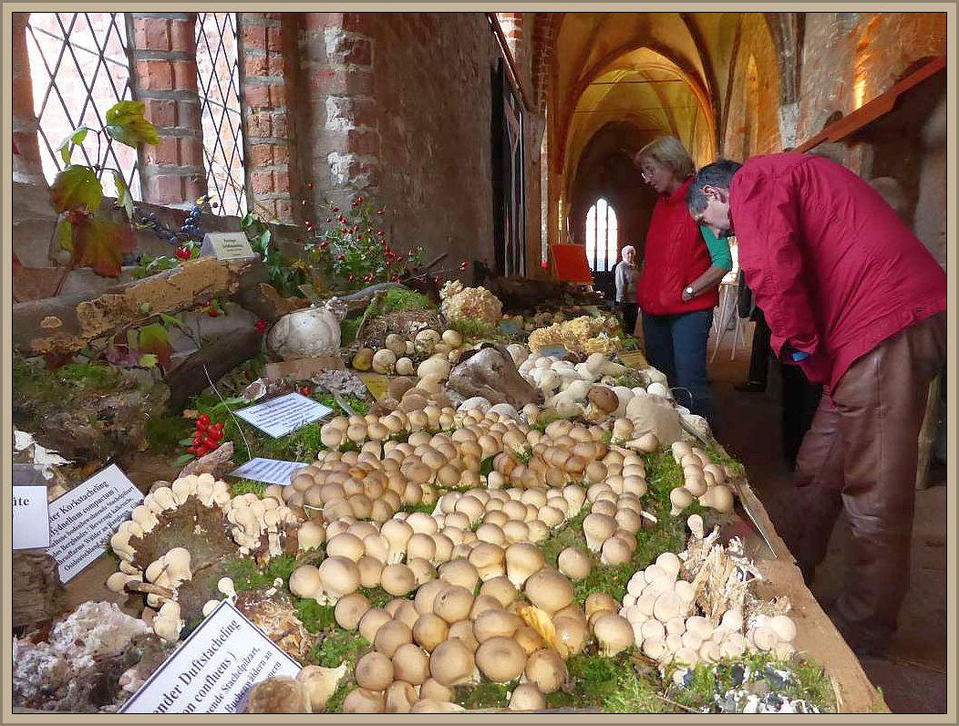 In den weitläufigen Kreuzgängen der altehrwürdigen Klosteranlage zu Rehna waren an diesem Wochenende wieder Pilze so weit das Auge reicht zu bewundern. Im Bild eine Wiese von Bauchpilzen, insbesondere Birnen - Stäublingen.