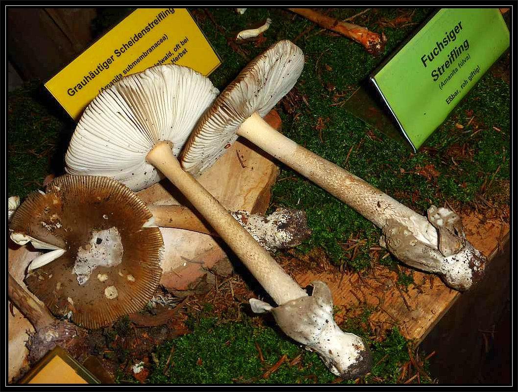 Auch diese recht seltenen Braunscheidigen Scheidenstreiflinge zählten zu den besonders sehenswerten Exponaten. Essbar.