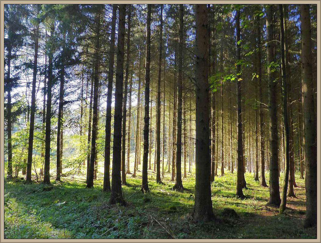 Fichtenforst, Buchen- und Eichenwälder dominieren den Brümmersal bei Rehna - Ziel unserer heutigen Pilzewanderung.