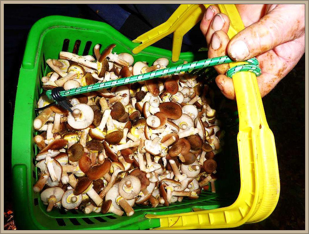 Inzwischen waren die meisten Körbe gut gefüllt mit erstklassigem Hallimasch und unsere Pilzexkursion durch den Brümmersal neigte sich dem Ende zu.