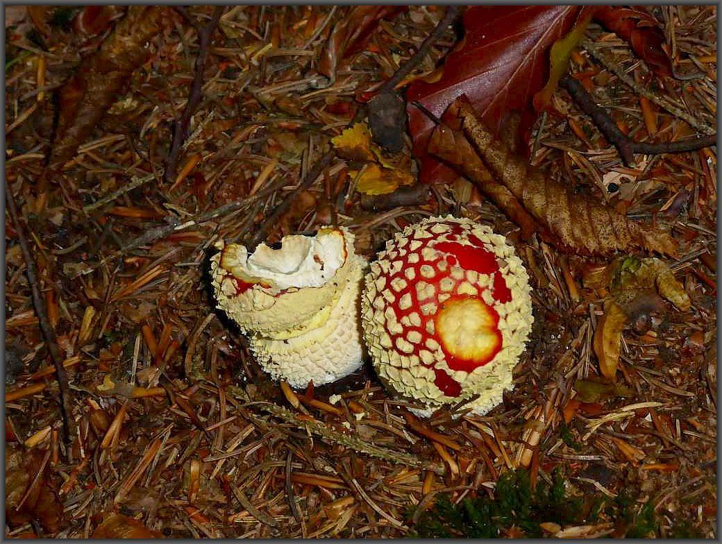 Junge Fliegenpilze (Amanita muscaria) schieben sich aus dem Waldboden. Jedes Kind weis das sie giftig sind. Für die Tiere des Waldes gelten andere Regeln. Sie scheinen ihnen zu schmecken und zu bekommen. Ein von Tiren angefrssener Pilz sagt nichts über die Essbarkeit oder Giftigkeit uns Menschen gegenüber aus.
