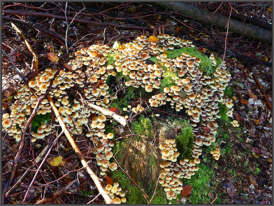 Der mit Abstand häufigste Pilz war heute der giftige Grünblättrige Schwefelkopf (Hypholoma fasciculare. Er überzog viel Stubben mehr oder weniger mit seinen schwefelgelben bis giftgrünen Fruchtkörpern. Vorteilhaft für einen Giftpilz - er schmeckt bitter!