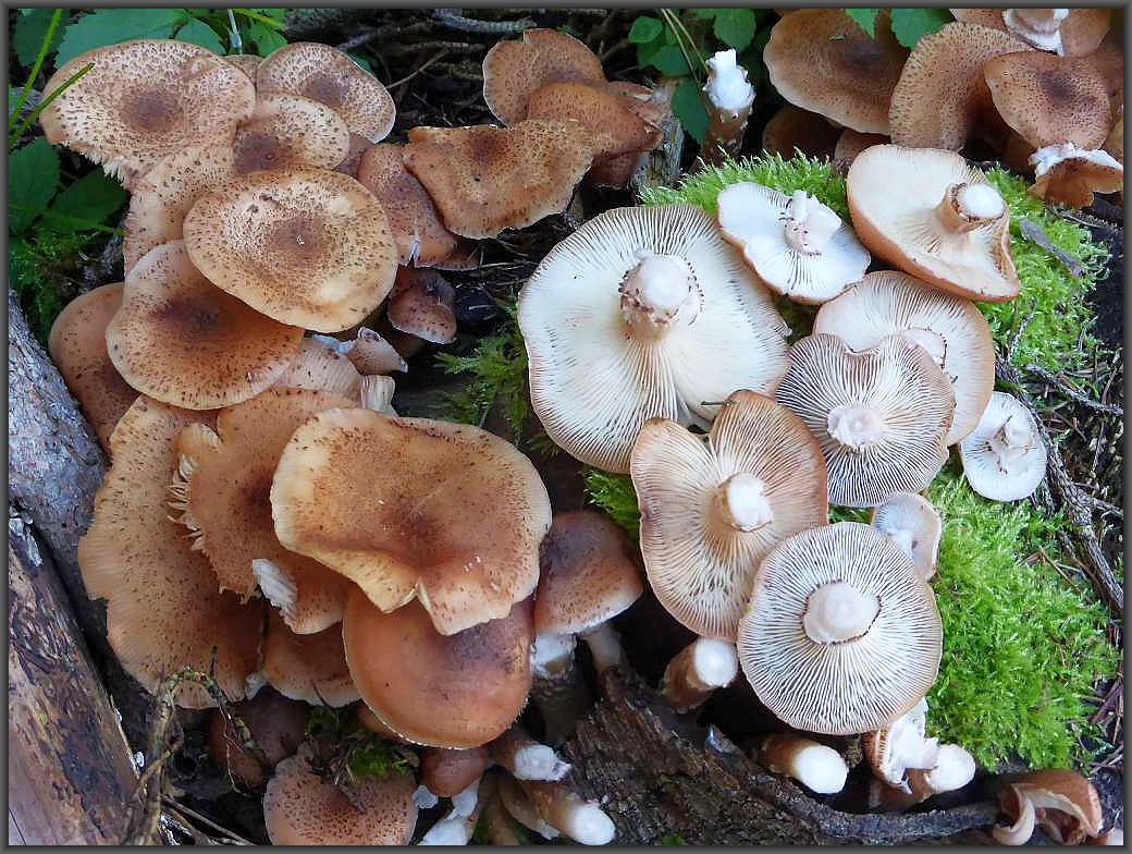 Dunkle Hallimsch (Armillaria obscura) an Fichtenholz. Da die Stiele meist sehr faserig und zäh sind, empfiehlt es sich bei der Ernte von Hallimsch die Hüte in Höhe der Ringzone abzuschneiden. Das ist ein sauberes und platzsparendes Ernten.