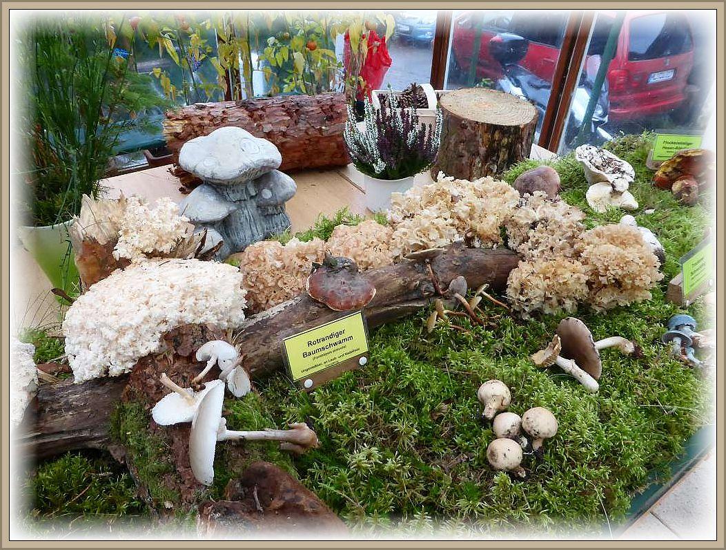 So füllte sich unsere vorbereitete Moosfläche im Außenbereich bereits mit einigen attraktiven Pilzarten.