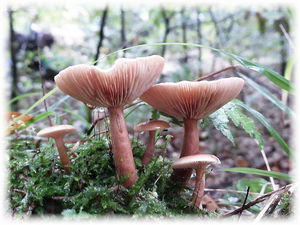 Der Flatter - Milchling (Lctarius tabidus) tritt vielfach scharenweise und als Massenpilz unter Birken und Fichten auf. Er schmeckt mild und kann als Mischpilz Verwendung finden.