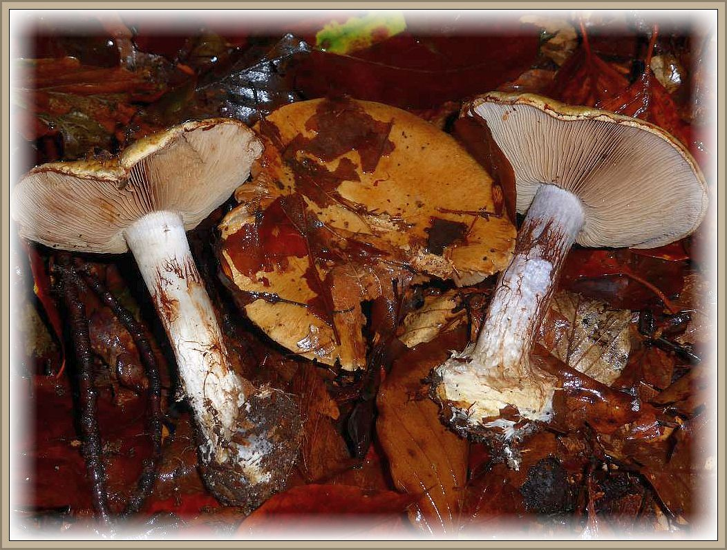 Der Buchen - Klumpfuß (Cortinarius amoenolens) ist einer der häufigsten Vertreter der Klumpfüße aus vielfältigen Gattung der Haarschleierlinge. In kalkhaltigen Buchenwäldern ist er in Mecklenburg im Herbst regelmässig anzutreffen. Ungenießbar.