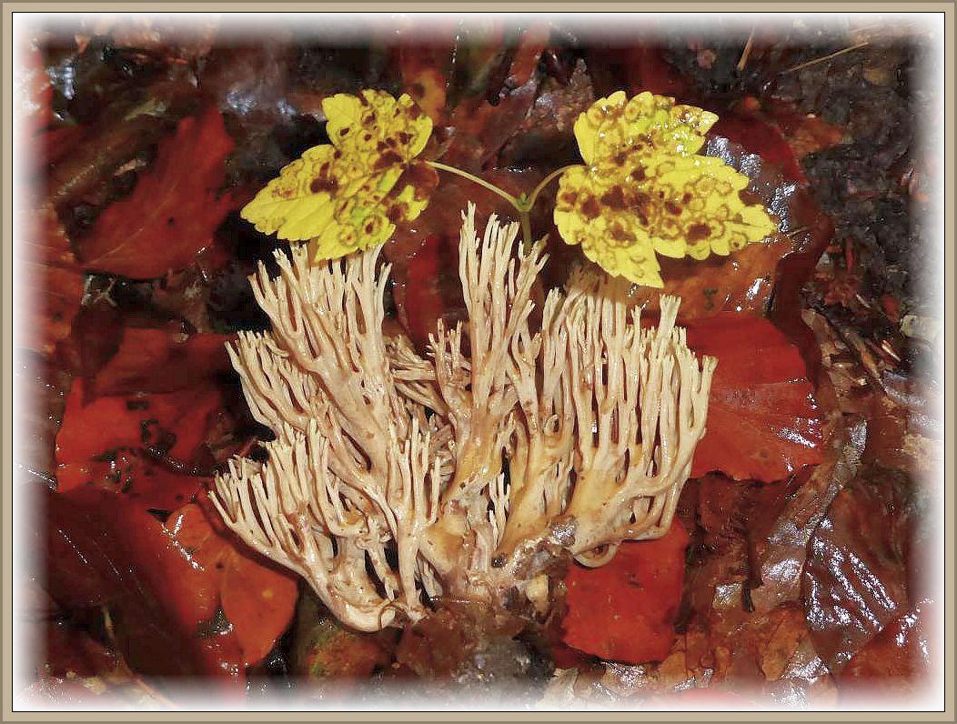 Die Steife Koralle (Ramaria stricta) gehört zu den häufigsten Korenpilzen. Wir finden sie ab Spätsommer im Laubwald an verottenden Laubholz - Ästen. Ungenießbar.
