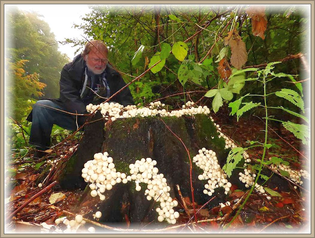 Ein beeindruckendes Bild bot dieser alte Buchenstubben der inselweise von vielen Fruchtkörpern des ungenießbaren Birnen - Stäublings (Lycoperdon pyriforme) überzogen war und natürlich auch Christopher Engelhardt zum Fotografieren reizte.