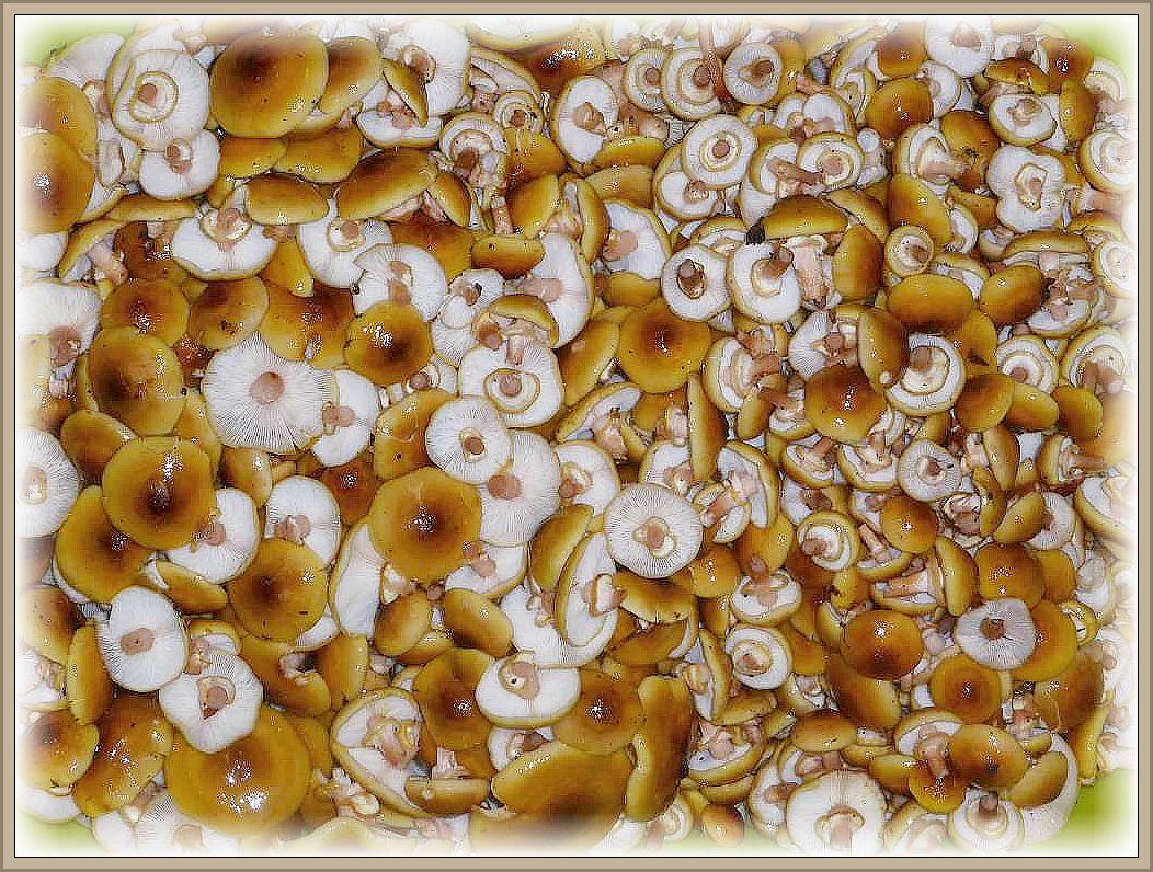 Neben einer Mischpilzpfanne auch geschorte Honoggelbe Hallimasch vom Vortag. Irena war zwischen ihren Küchenarbeiten noch schnell für eine Stunde in das Heidenholz gefahren und zwei Wäschewannen voller dieser phantastischen Hallimasch geschnitten. Der Großteil wurde allerdings blanchiert und für einen unserer Imbisstage eingeroren.