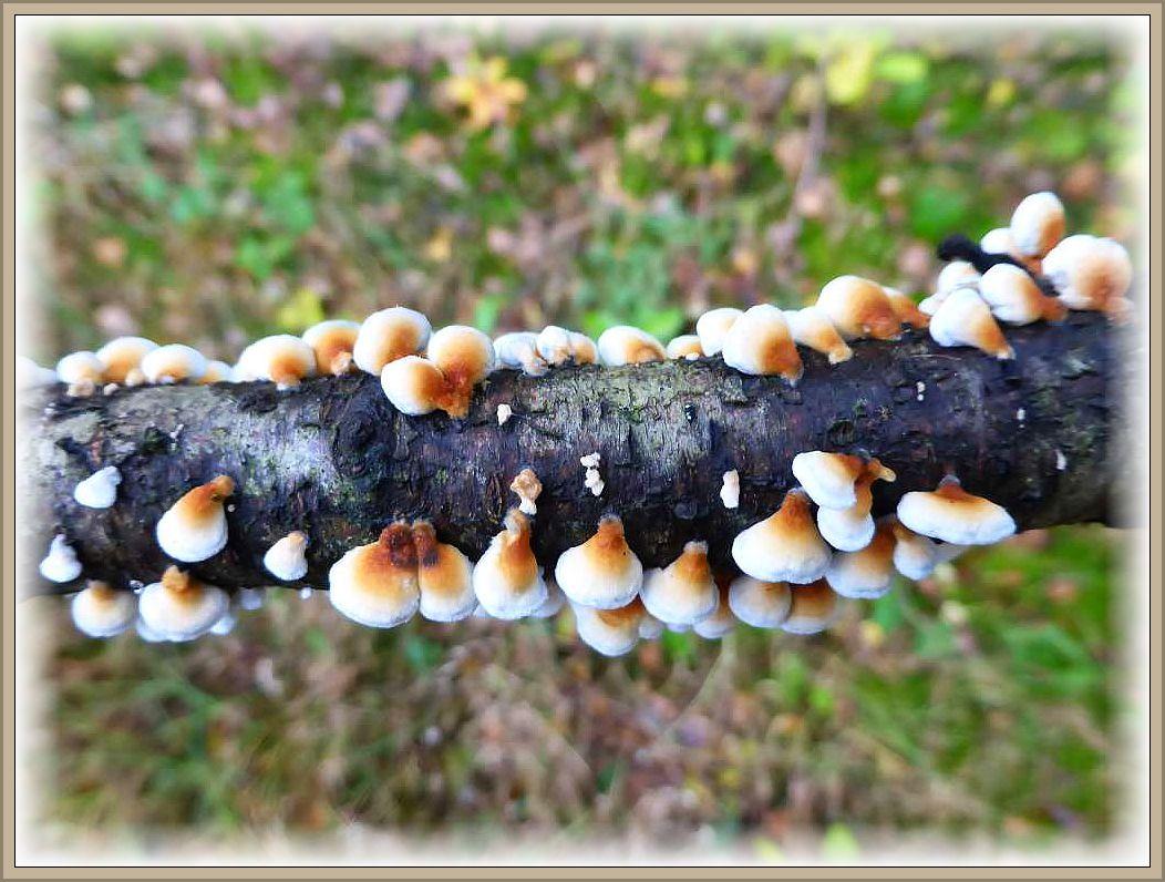 Zahlreiche Fruchtkörper des Krausen Aderzählings (Plicatura crispa) auf einem liegendem Birkenast von oben betrachtet.