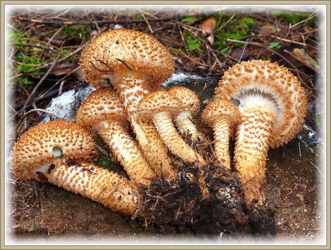 An einem Fichtenstubben wuchsen diese bildschönen Sparrigen Schüpplinge (Pholiota squarosa). Im Gegensatz zum obigen Goldfellschüppling sind ihre Fruchtkörper niemals schleimig. Er ist der klassische Verwechslungspartner des Hallimasch. Dieser besitzt nicht so sparrig abstehende Schuppen, kein gelbes Fleisch und streut auch keinen braunen, sondern weißen Sporenstaub ab. Auch der hier gezeigte ist essbar, aber dem Hallimasch geschmacklich unterlegen und schwer verdaulich.bar.