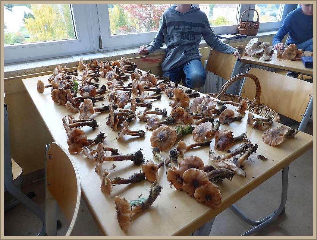 Wieder in der Schule angelangt wurden alle Pilzfunde nochmal auf der Schulbank ausgebreitet und ich schaute nochmals durch, ob auch alles in Ordnung ist und ob sich kein Giftzwerg eingschlichen hatte.