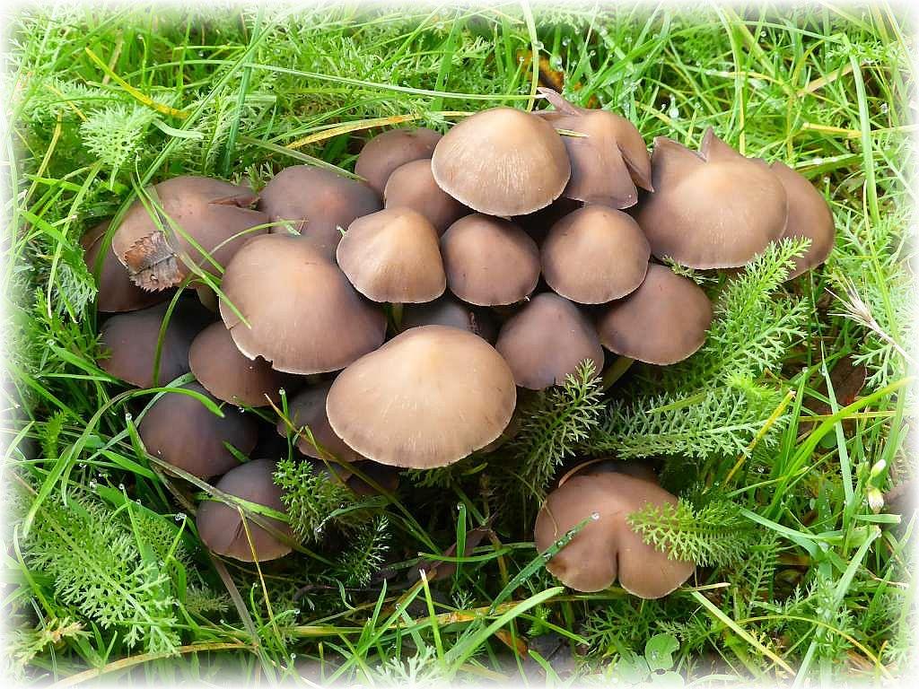 Diese Pilze fotografierte ich heute morgen auf der Rasenfläche vor meiner Haustür. Seit etwas zwei Wochen erscheinen hier immer neue Büschel des Büscheligen Mürblings (Psathyrella multipedata). Ohne Speisewert.