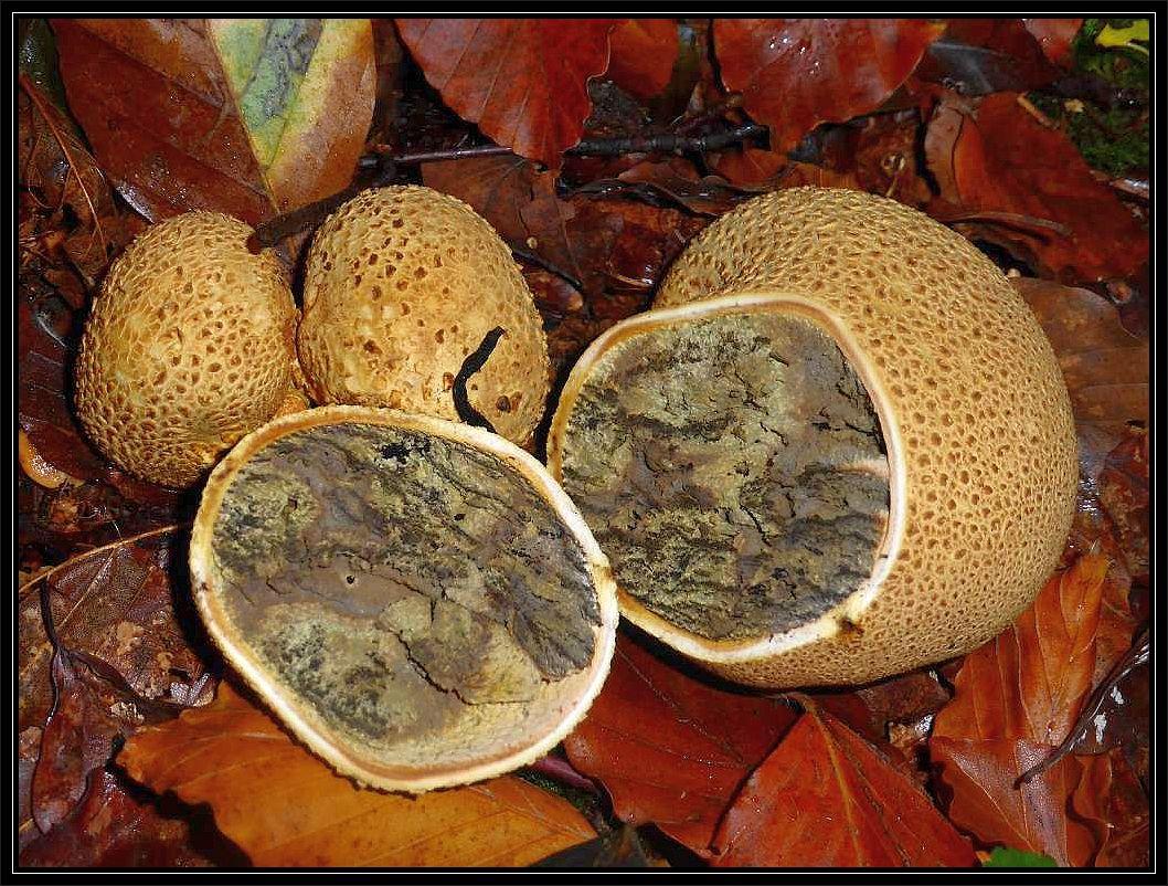 Gut ist die mehrere Milimeter starke Schale des Dickschaligen Kartoffel - Hartbovistes (Scleroderma citrinum) im Schnitt zu erkennen. Schwach giftig!