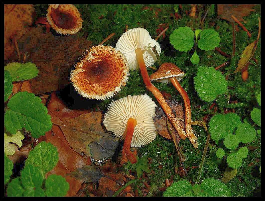 Der Kastanienbraune Schirmpilz (Lepiota castanea) ist ein hübscher Vertrter der echten Schirmpilze, die meist viel kleiner sind als die Riesenschirmpilze. Unter ihnen gibt es einige stark giftige Arten. Auch dieser steht im Verdacht giftig zu sein. Er soll Knollenblätterpilzgifte enthalten und könnte dadurch lebensgefährliche Vergiftungen auslösen.
