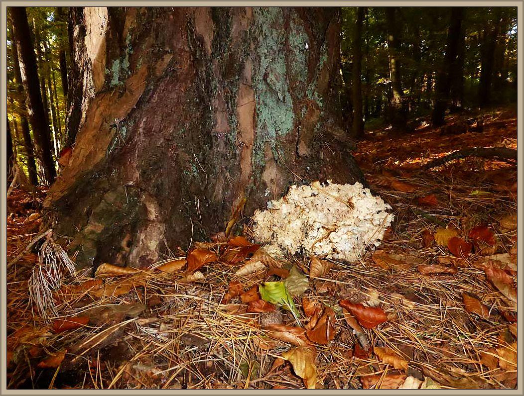 Schon von weitem sah ich am Sonntag bei meiner Kurzexkursion im Kellers Wald bei Bad Doberan diese Krause Glucke (Sparassis crispa) am Fuße einer alten Kiefer leuchten. Standortfoto am 25.10.2015.