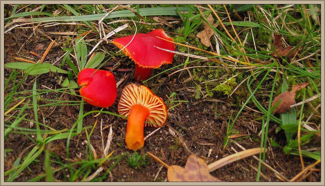 Hier nochmal ein besonders schöner Farbtupfen von Peter Hildebrandt. Es zeigt den Kirschroten Saftling (Hygrocybe coccinea). Die Art wächst auf Wiesen und moosreichen Rasenflächen und steht laut Bon auf der Roten Liste 3 = gefährdet. Gefährdet sind aber vor allem die Biotope, in denen er vorkommen kann. Foto: Peter Hildebrandt.