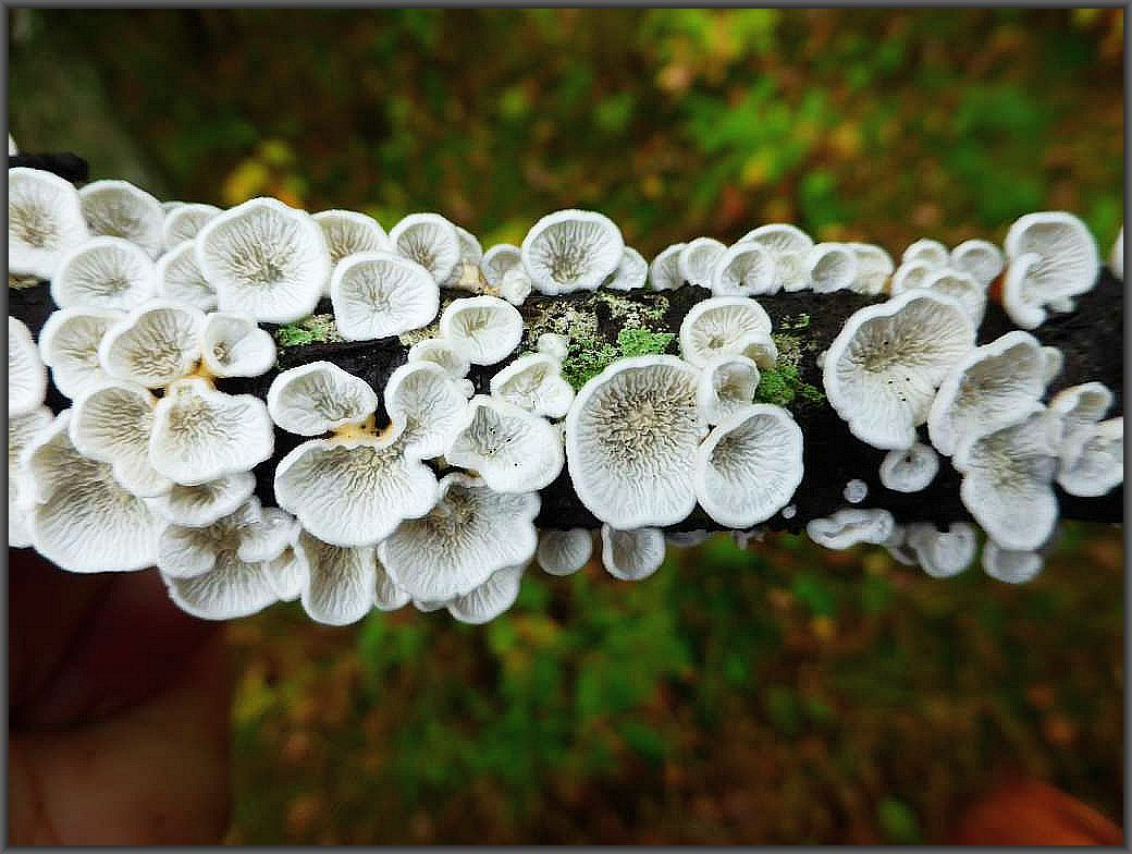 Es handelt sich um den immer häufiger werdenden Krausen Aderzähling (Plicatura crispas).