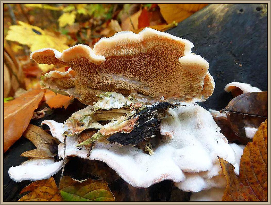 An einer alten, vom Sturm gefällten Buche finden wir einige verschiedene Pilzarten. So auch diese Gallertartigen Fältlinge (Merulius tremmelosus). Der häifige, galertartig weiche Baumpilz ist ebenfalls ein typischer und häufiger Herbstpilz. Seine Unterseite ist charakteristisch, faltig zusammengezogen. Ungenießbar.